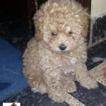 1 3 Months Old French Poodle Pups e1509090520888