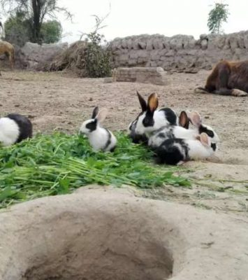 1 Rabbits for Sale